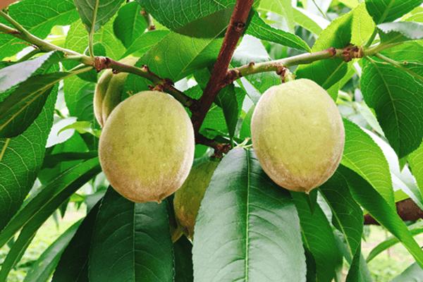 桃の収穫まで、あと少し。