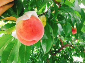 桃の選び方を知ろう!好みを品種で見つけるための豆知識