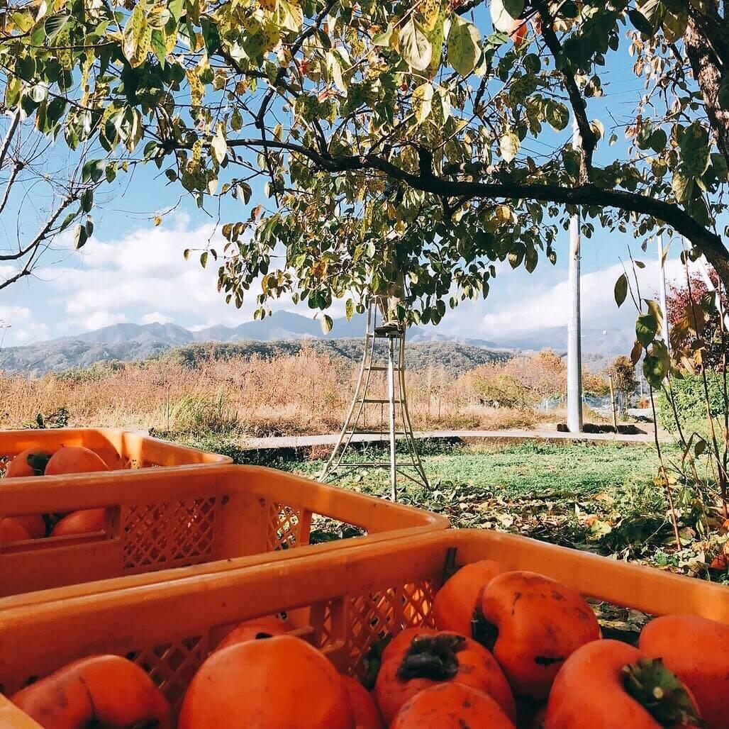 今年も桃・ぶどうをご愛顧いただき有難うございました!&柿ドライの予約販売を開始!
